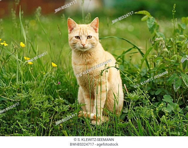 domestic cat, house cat (Felis silvestris f. catus), red striped cat in a meadow, Germany