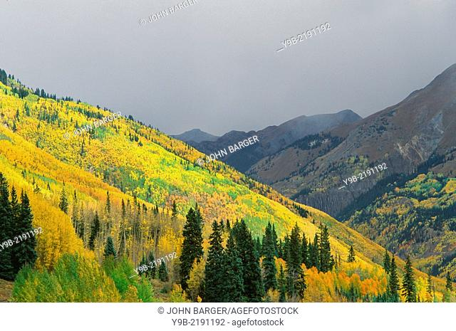 Fall-colored aspen mix with conifers beneath stormy sky, Uncompahgre National Forest, Colorado, USA