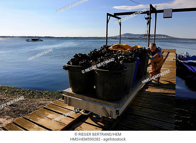 France, Herault, Bouzigues, Bassin de Thau, oyster and mussels farm from the Benezech family at the Place called La Catonniere facing Mont Saint Clair