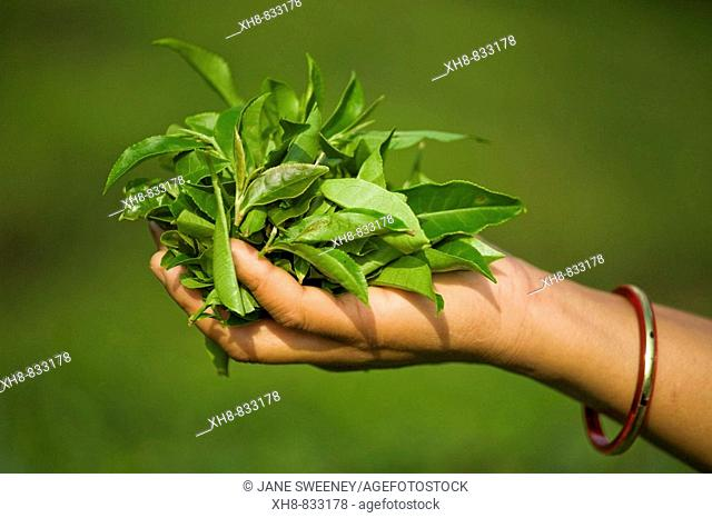 India, West Bengal, Kurseong, Goomtee Tea Estate, Woman tea picker holding handful of freshly picked tea leaves
