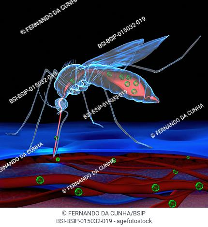 Illustration of a mosquito bite showing the zika virus being transmitted, or that of the dengue virus. By biting an infected person