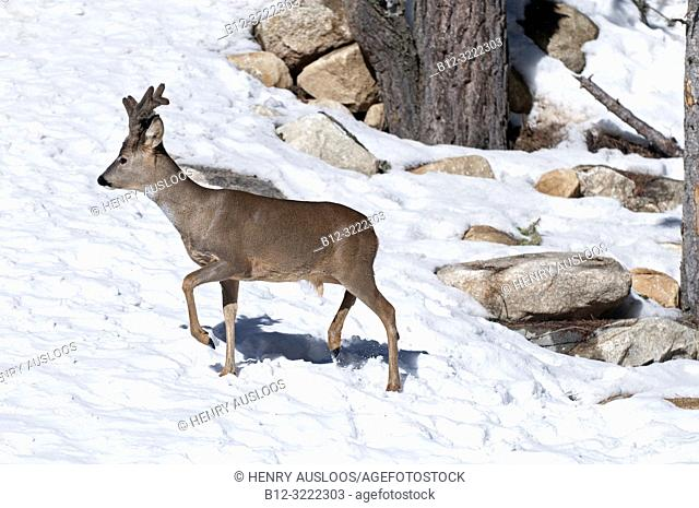 Roe deer in winter (capreolus capreolus), in velvet, France