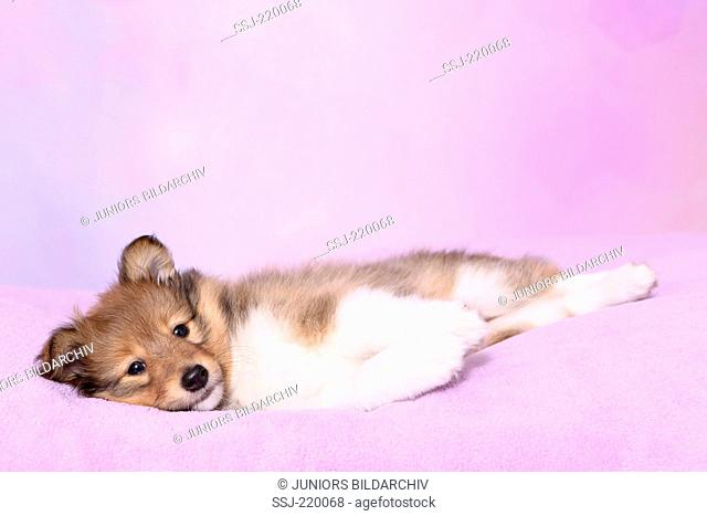 Shetland Sheepdog. Puppy (6 weeks old) lying on a pink blanket. Studio picture against a pink background
