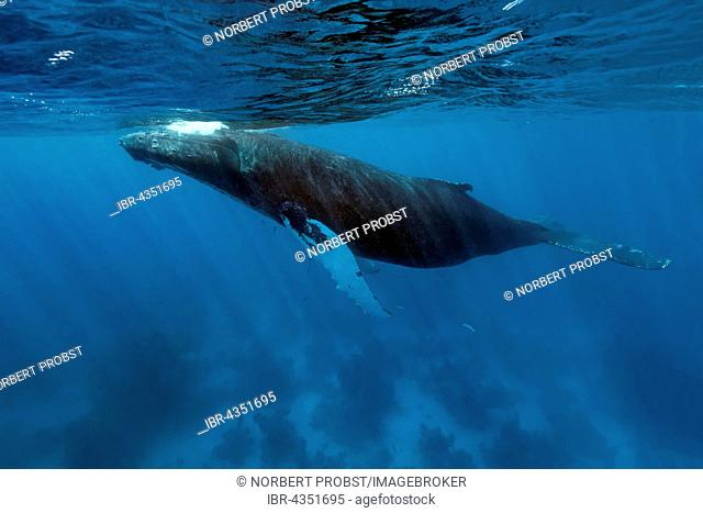 Humpback whale (Megaptera novaeangliae) over coral reef, Silver Bank, Silver and Navidad Bank Sanctuary, Atlantic Ocean, Dominican Republic
