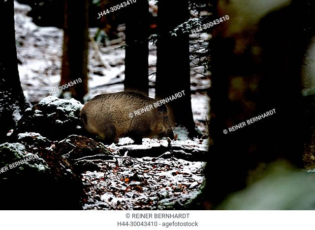 Pigs, real pigs, cloven-hoofed animals, sow, making a mess, making a mess in winter, black smock, black game, pig, pigs, Suckel, Sus scrofa scrofa, mammals