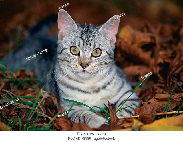 Domestic Cat silver tabby