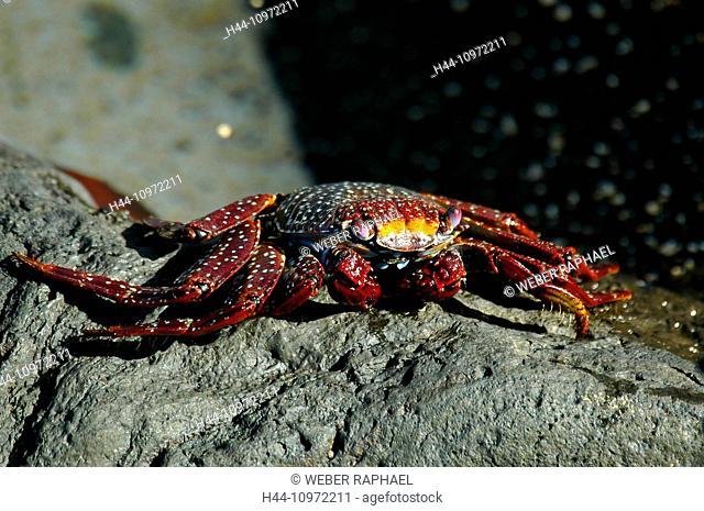 Ascension, Ascension Island, coast, crab, Grapsus grapsus, red cliff crab