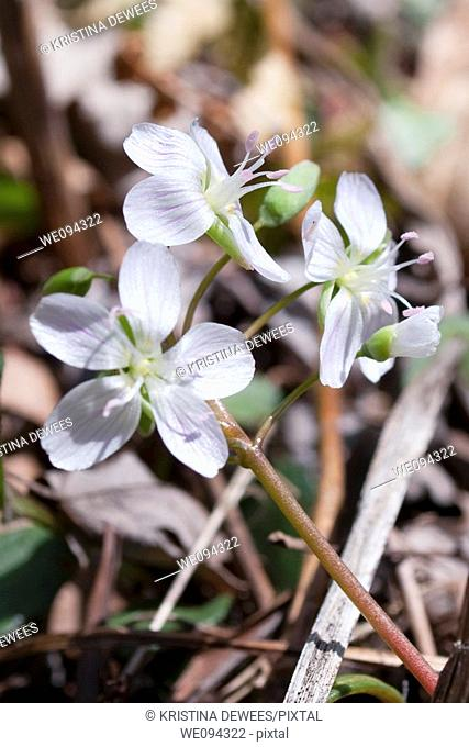 A perennial wildflower in Ohio called Spring Beauty