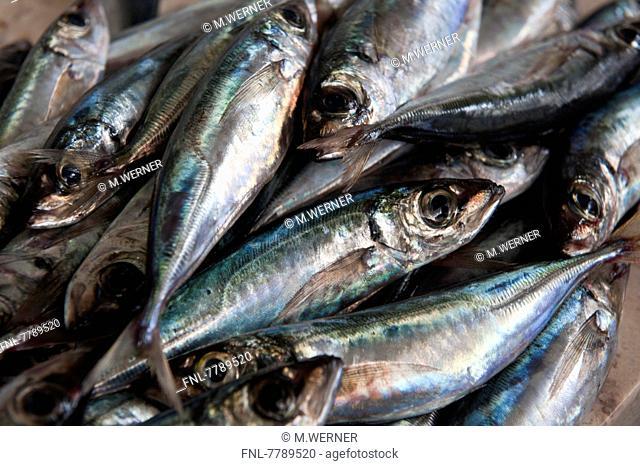 Headline: Mackerels on a fish market in Funchal, Island Madeira, Portugal