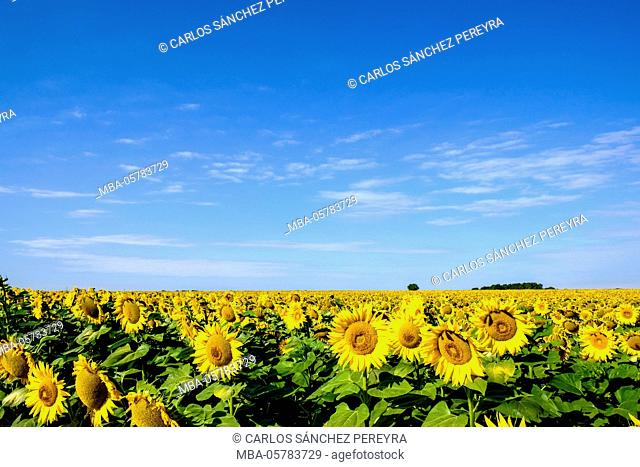 Fields of blooming sunflowers in Loire Valley, France, Europe
