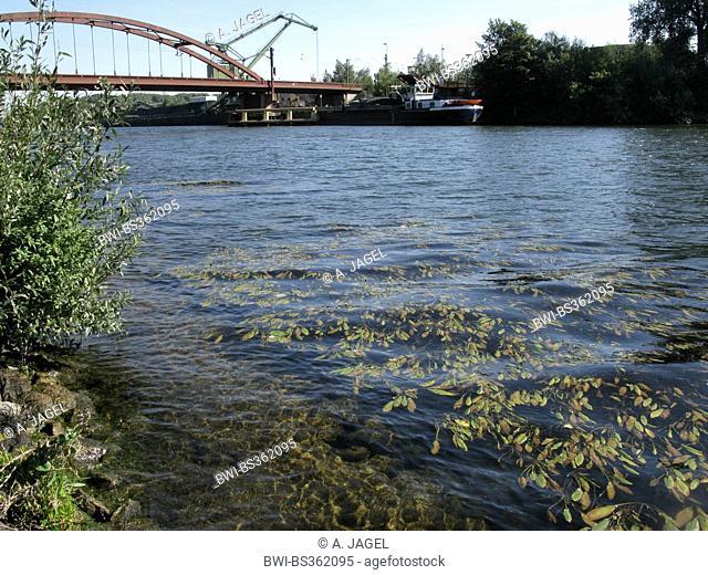 Loddon pondweed, Longleaf pondweed, Long-Leaved Pondweed (Potamogeton nodosus, Potamogeton fluitans), growing in Rhine-Herne Canal, Germany