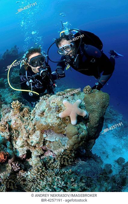 Divers look at granulated sea star (Choriaster granulatus), Indian Ocean, Maldives