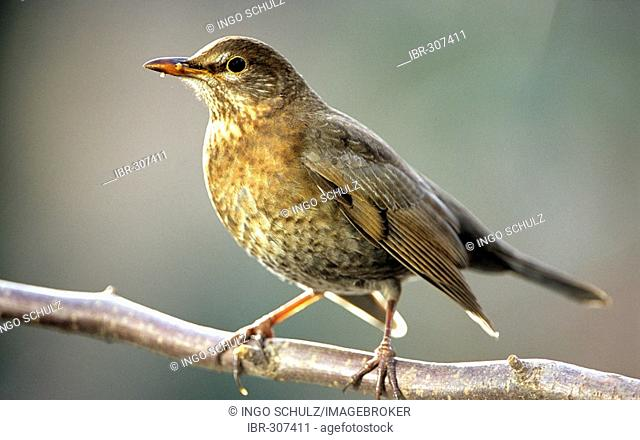 Blackbird (Turdus merula), female