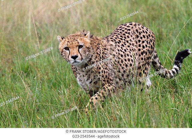 Cheetah in Maasai Mara National Reserve, Kenya