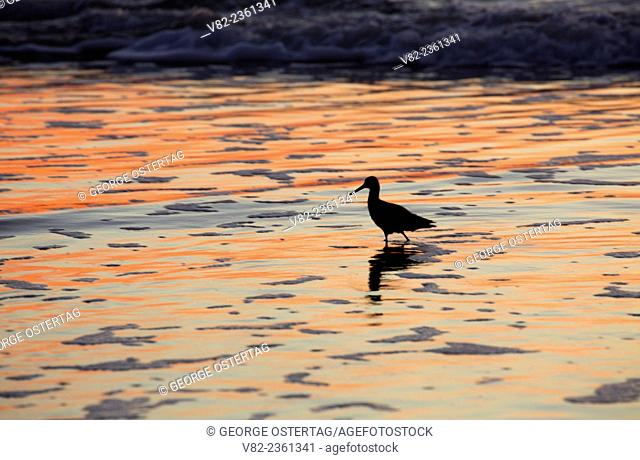 Shorebird sunset at Ocean Beach, Golden Gate National Recreation Area, San Francisco, California