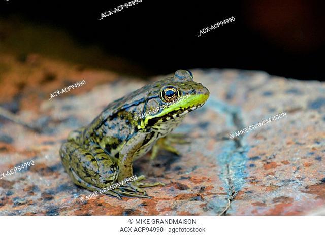 Northern green frog (Rana clamitans) on PreCambrian Shield, Killarney Provincial Park, Ontario, Canada