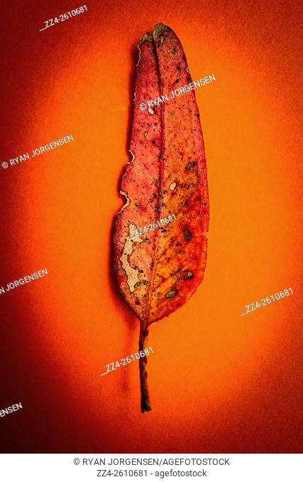 Shabby nature photo of a rustic leaf under the spotlight of decay. As the red leaves slowly die