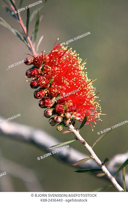 Bottle brush bush. Kangaroo Island, South Australia