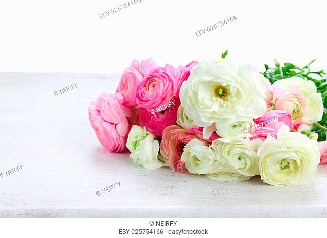 Pink and white ranunculus flowers on white table border isolated on white background