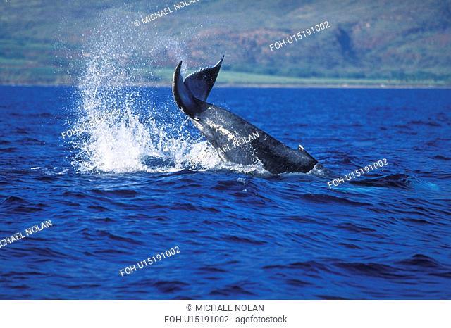 Humpback Whale Megaptera novaeangliae Calf tail-lobbing AuAu Channel, Maui, Hawaii, USA. Pacific Ocean