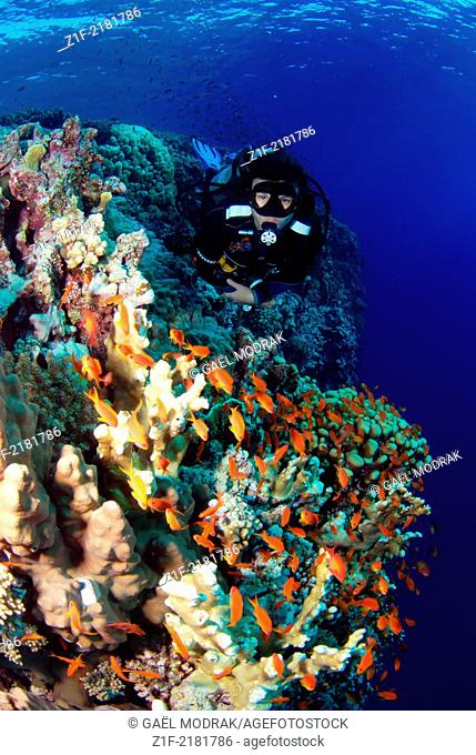 Diver on Elphinstone's reef, red sea, Egypt, through hundreds of small jewel fairy basslets. Anthias squamipinnis