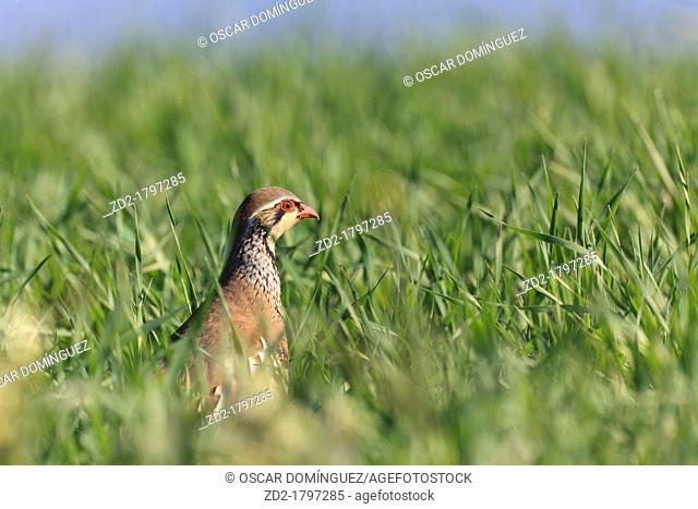 Red-legged Partridge Alectoris rufa in grassland  Lleida  Catalonia  Spain