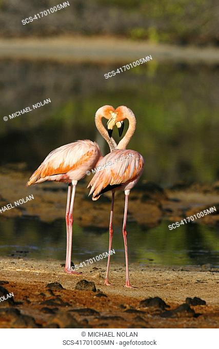 Greater flamingo Phoenicopterus ruber foraging for small pink shrimp Artemia salina in saltwater lagoons in the Galapagos Island Group, Ecuador Pacific Ocean RR
