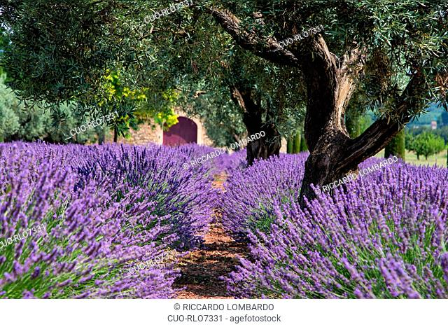 Blooming field of Lavender, Gordes, Vaucluse, Provence-Alpes-Cote d'Azur, France, Europe