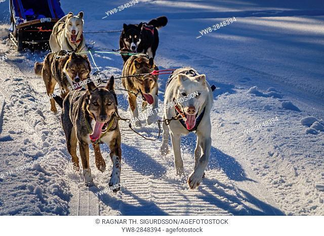 Husky sled dogs, Lapland, Sweden
