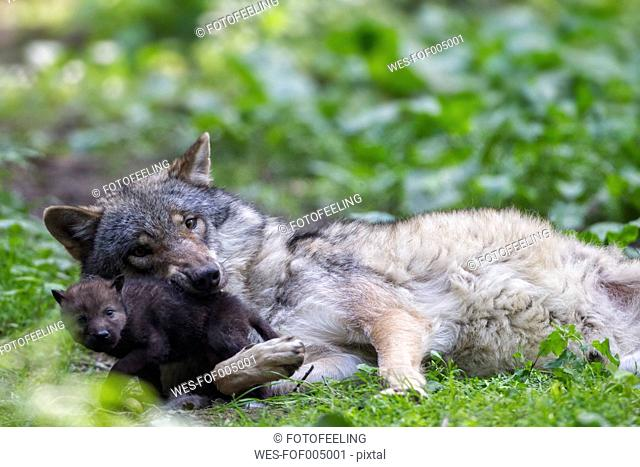 Germany, Bavaria, Gray wolf with her pup