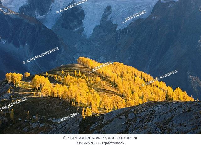 Alpine larches Larix lyallii in autumn foliage are lit by the evening sun, the Horseshoe Glacier is in the background  Purcell Mountains British Columbia