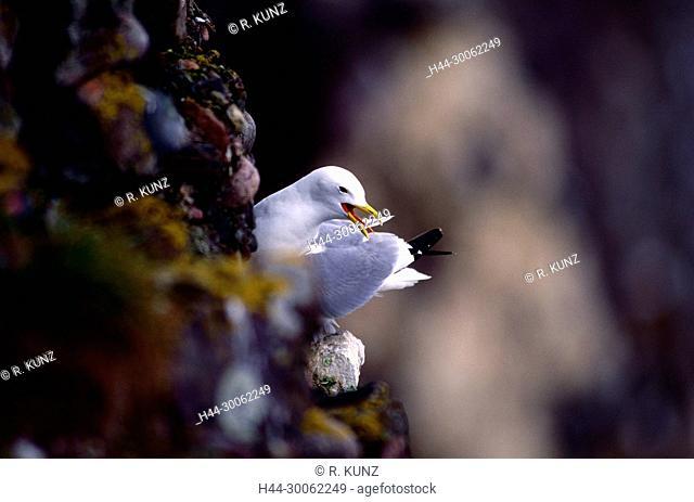 Black-legged Kittiwake, Rissa tridactyla, Laridae, adult, Gull, nesting site, bird animal, Fowlsheugh nature reserve, Scotland, Great Britain