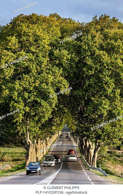 Plane trees (Platanus × acerifolia) bordering the French Route Nationale 7 / RN7, France