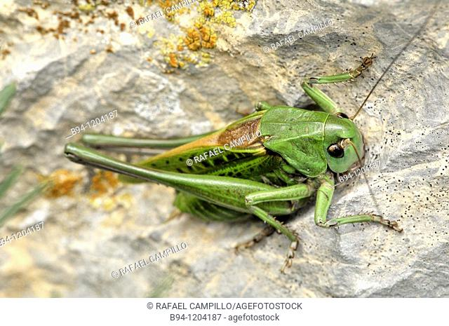 Grasshopper. Speckled bush-cricket. Leptophyes sp. Order Orthoptera. Fam. Tettigoniidae. Osseja, Languedoc-Roussillon, Pyrenees Orientales, France