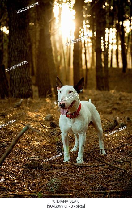 Bull terrier in pine forest