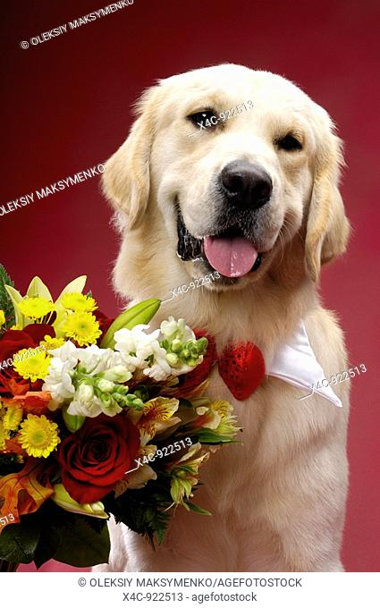 Portrait of One year old Golden Retriever with flowers  Isolated on red background  Brody - Gray Valley Kennels - Toronto