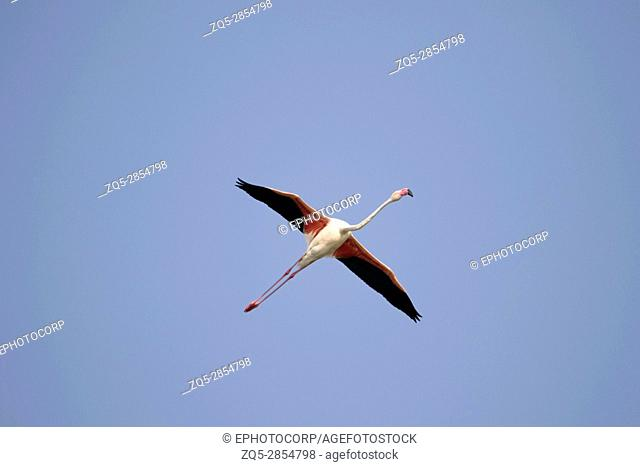 Greater Flamingo, Phoenicopterus roseus, Ujjani Dam backwaters, Bhigwan, Maharashtra, India
