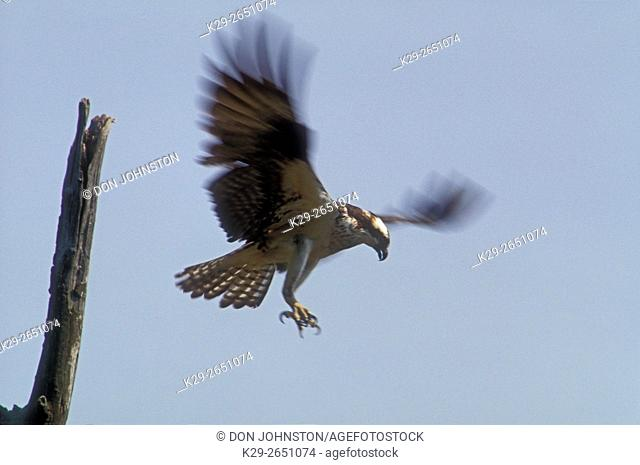 Osprey (Pandion haliaetus) Hovering over stick nest, about to land, Manitoulin Island, Ontario, Canada
