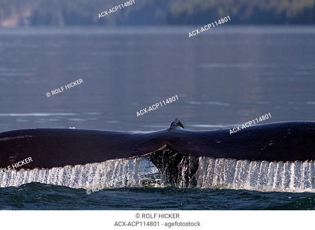 Humpback whale fluke in Broughton Archipelago Marine Provincial Park, British Columbia, Canada