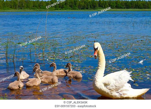 Swan and ugly ducklings