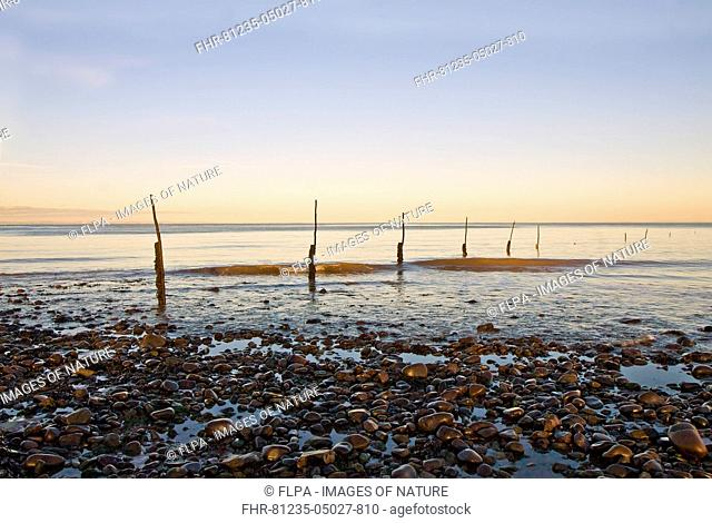 View of pebble beach and old stakes from trap fishing nets at sunset, Minehead, Somerset, England, December