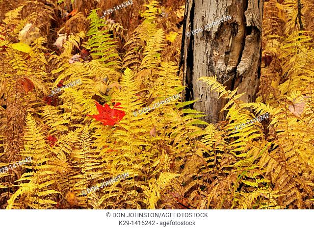 Hayscented fern, Dennstaedtia punctilobula colony in autumn colour, with fallen maple leaf Oxtongue River, Ontario
