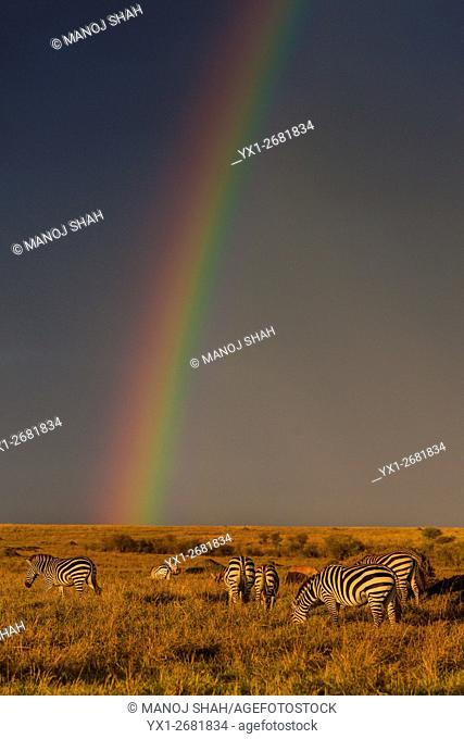 Zebras grazing under a rainbow in Masai Mara