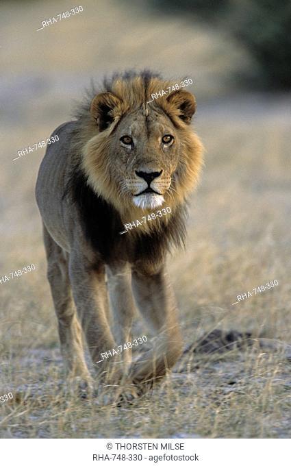 Lion Panthera leo, Chobe National Park, Savuti, Botswana, Africa