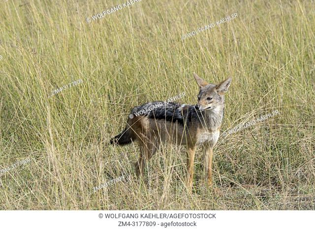 A Black-backed jackal or Silver-Backed jackal (Canis mesomelas) in the grassland of the Masai Mara National Reserve in Kenya