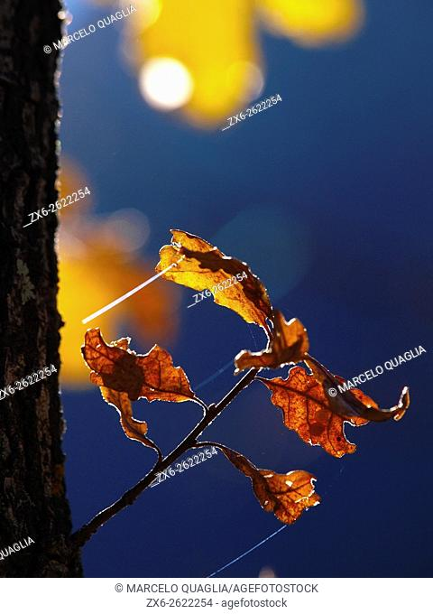 Backlit oak leaves. Late autumn at Montseny Natural Park. Barcelona province, Catalonia, Spain