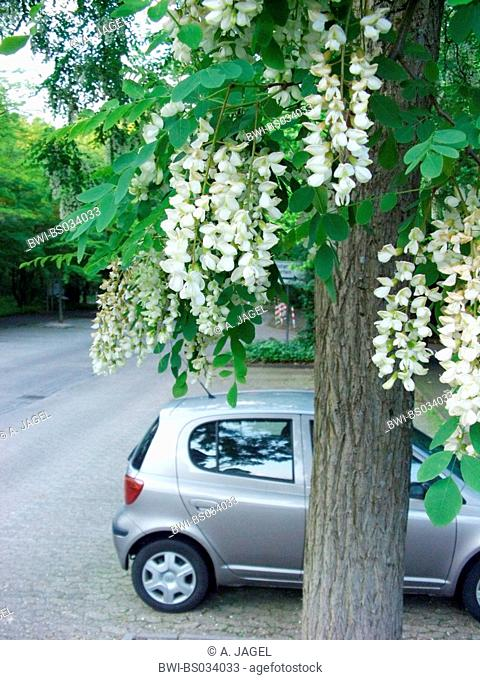common locust, black locust, robinia (Robinia pseudoacacia), blooming tree on a parking place