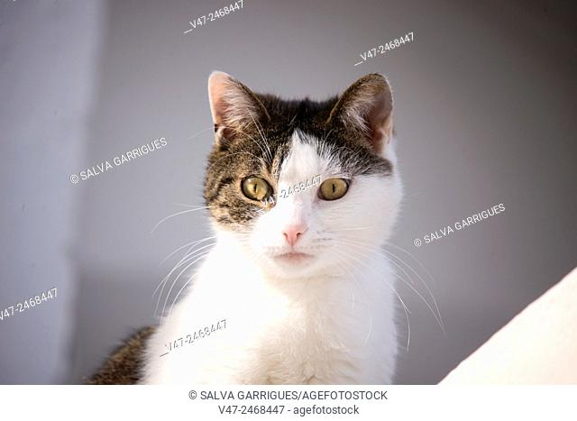White and gray cat looking at camera
