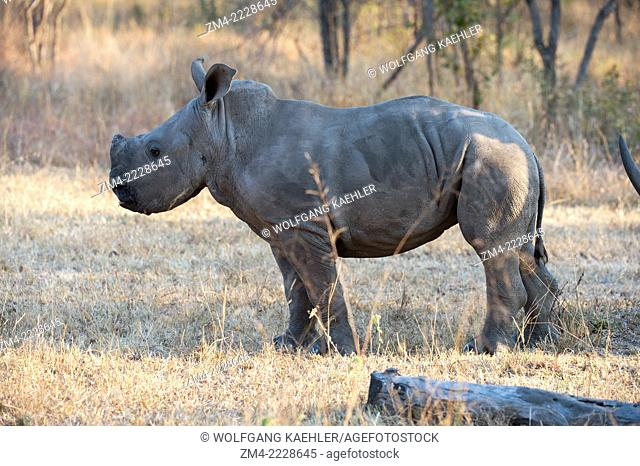 6 months old White rhinoceros or square-lipped rhinoceros (Ceratotherium simum) baby in the Sabi Sands Game Reserve adjacent to the Kruger National Park in...