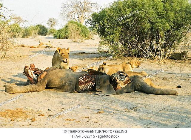 eating lions